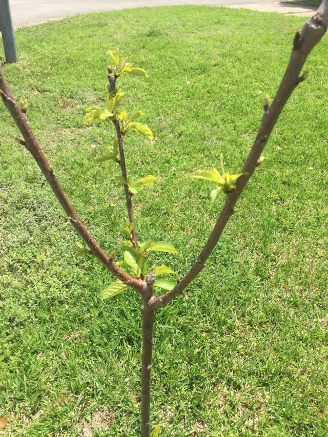 Cherry tree gardening in Central Texas